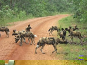 14b Wild Dog 3 kms road