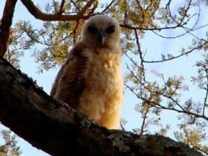 18b Pel's fishing owlet