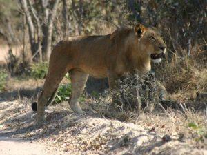 christian-lioness
