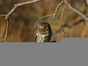 christian-owl
