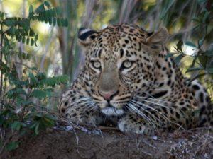 david-leopard-2-wow