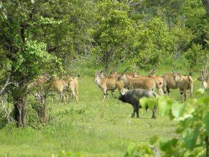 eland-and-buffalo