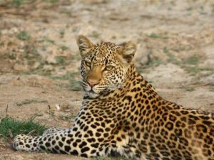 leopard-norman-oct-11-zamlodge-2-jpg