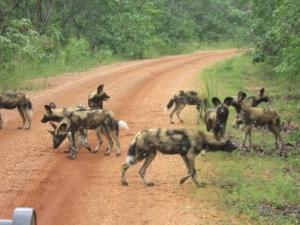 14b Wild Dog 3 kms road