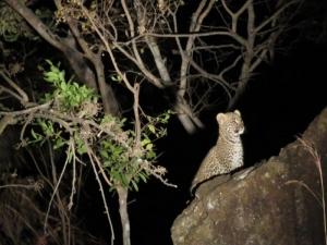 15b Leopard Baby 1
