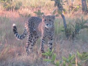 cheetah-boyd-2