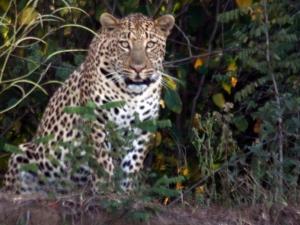 david-leopard