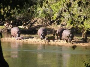 hippos-and-babies