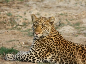 leopard-norman-oct-11-zamlodge-2-jpg