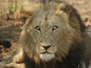 lion-big-male-patricia